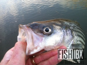 Roanoke River Striped Bass on the Fly and Light Tackle ...