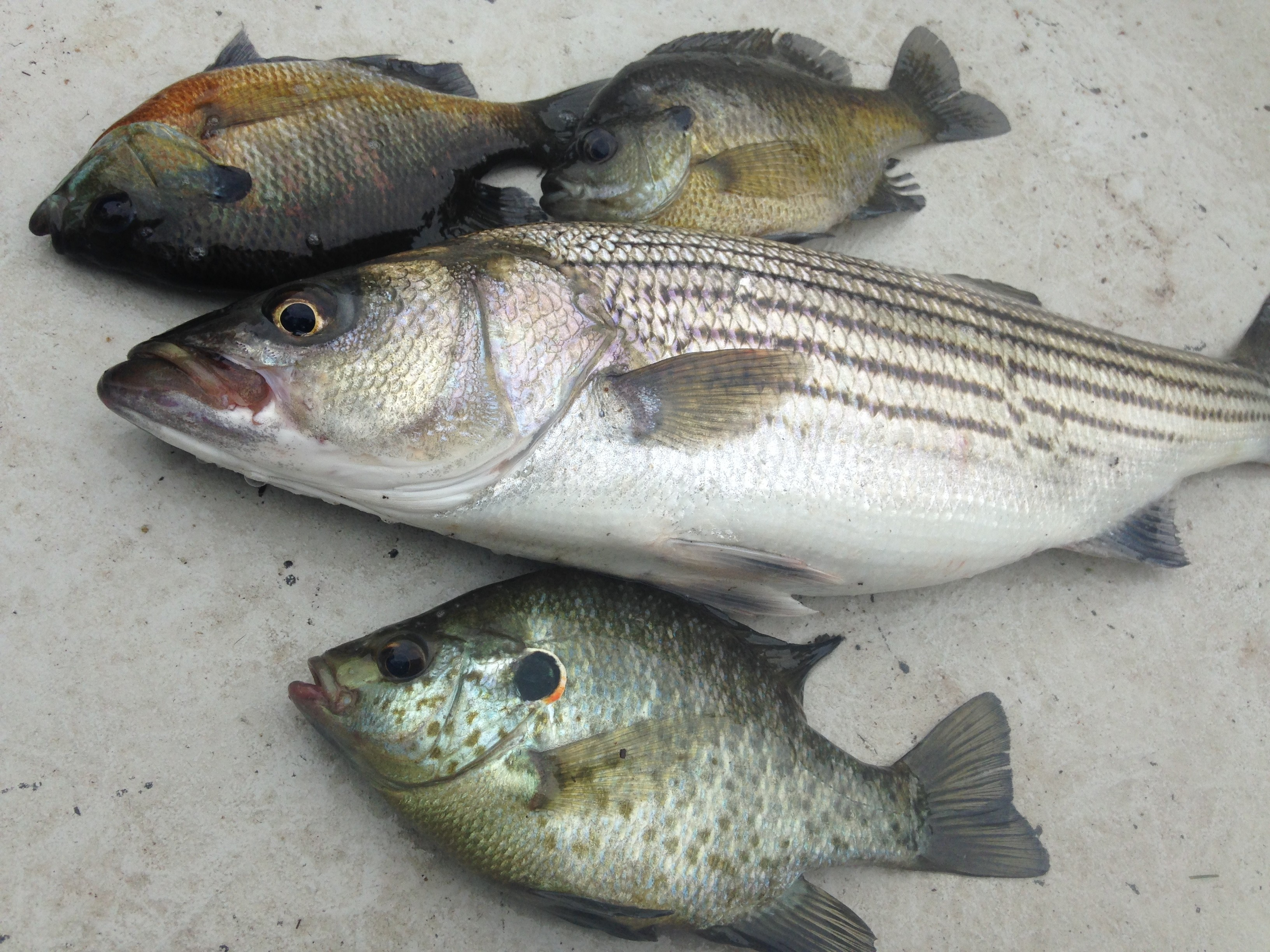 Roanoke river striped bass and more fishibx eastern nc for Striper fishing nc
