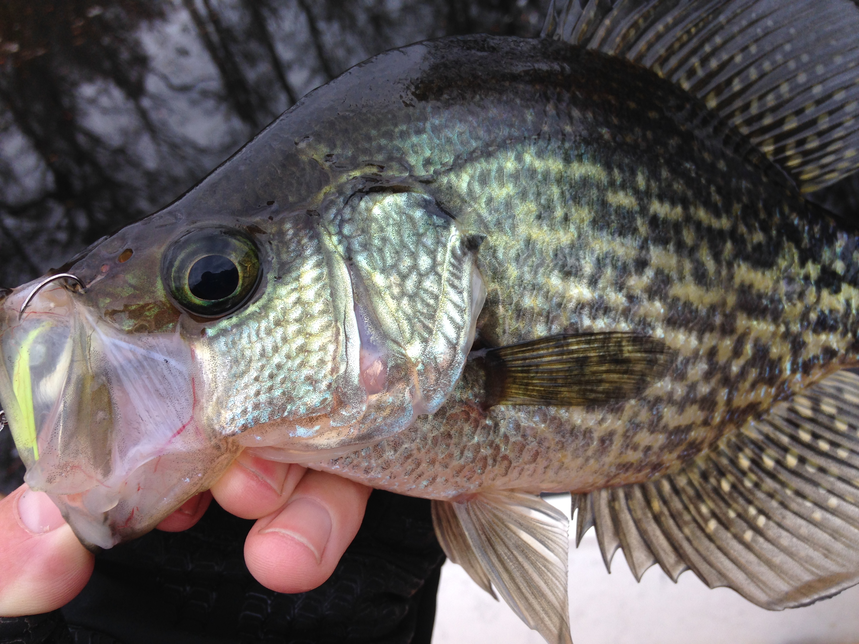 Tar river crappie fishibx eastern nc fishing guide for Northeast saltwater fishing reports