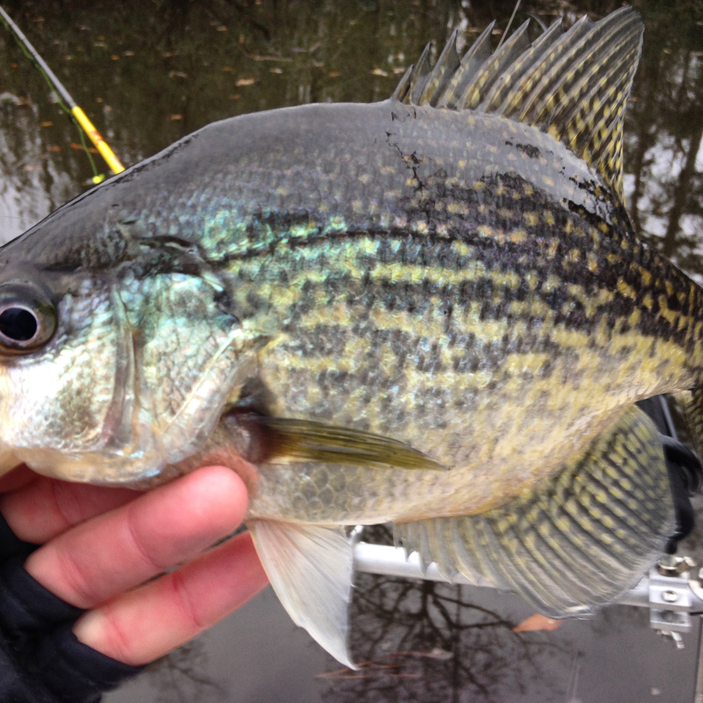 River crappie 2 at a time fishibx eastern nc fishing guide for Northeast saltwater fishing reports