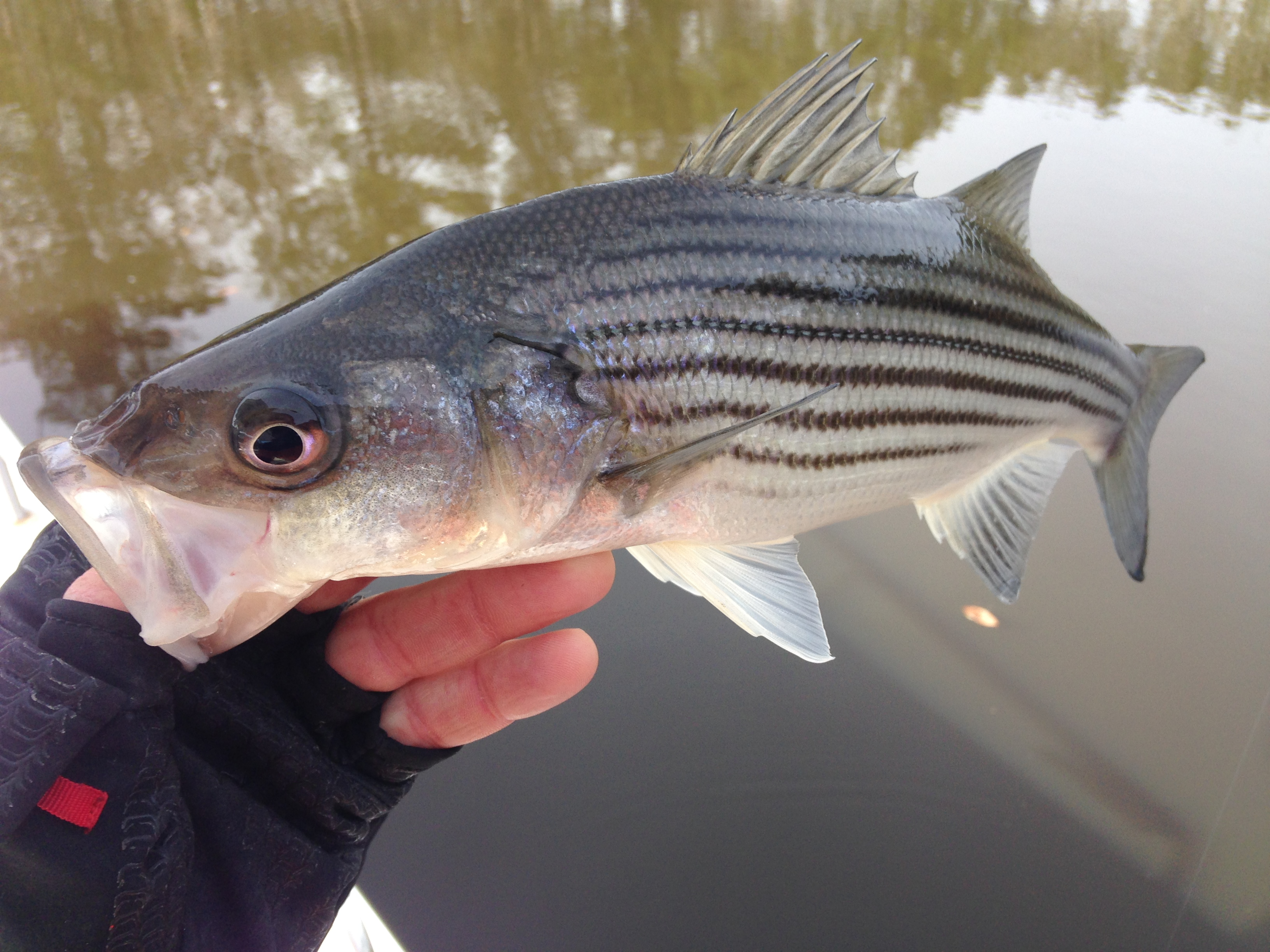 Bass and stripers fishibx eastern nc fishing guide for Northeast saltwater fishing reports
