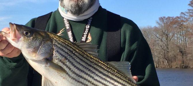 Pamlico Tar River Stripers