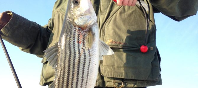 Albemarle Sound Stripers Rockfish