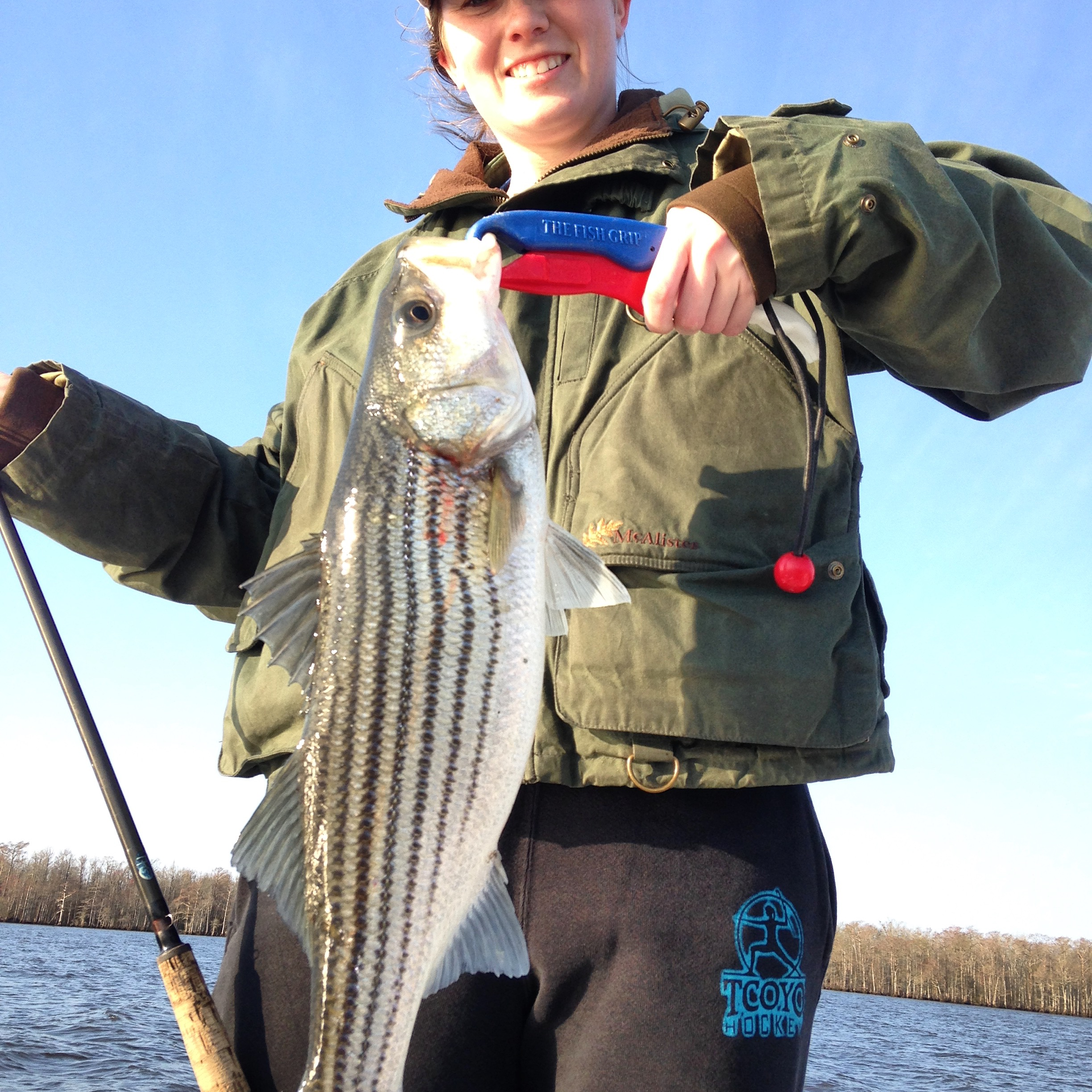 Albemarle sound stripers rockfish fishibx eastern nc for Striper fishing nc